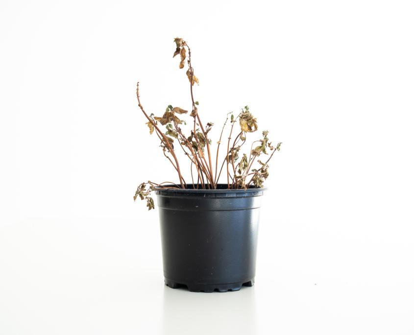Verdorte Pflanzen